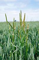 Black grass in winter wheat - Lincolnshire, June