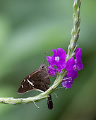 A Telelus Longtailed skipper feeding on the nectar of a bright pink flower.