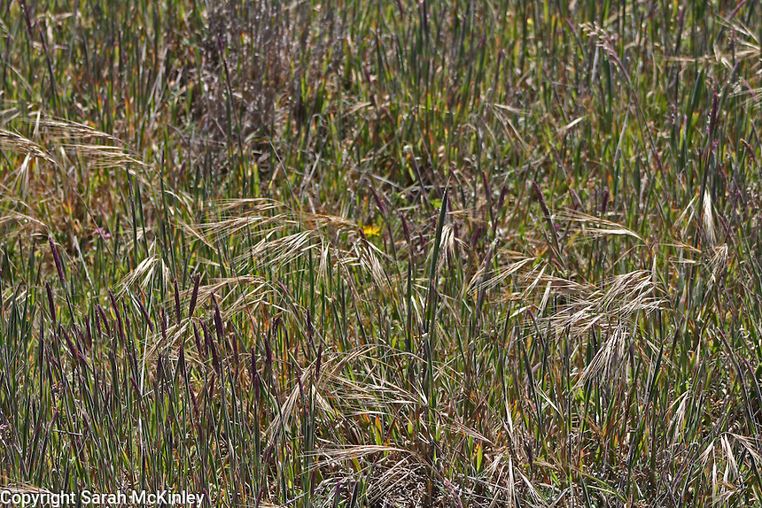 A variety of grasses growing at MacKerricher State Park near Fort Bragg in Mendocino County in Northern California.