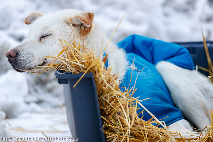 A Larry Daugherty dog rests on straw in a dog kennel in Nome  during the 2017 Iditarod on Friday March 17, 2017.<br /> <br /> Photo by Jeff Schultz/SchultzPhoto.com  (C) 2017  ALL RIGHTS RESERVED