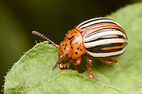 False Potato Beetle (Leptinotarsa juncta) feeding on a leaf, Ward Pound Ridge Reservation, Cross River, Westchester County, New York
