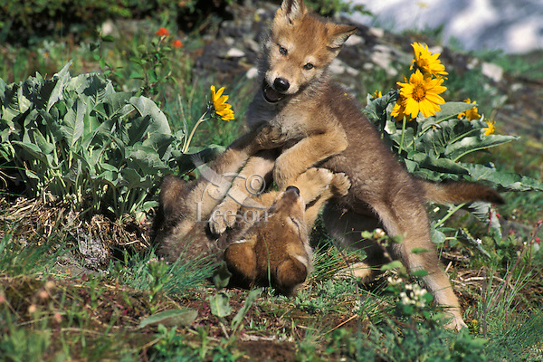 Gray wolf pups playing (Canis lupus).