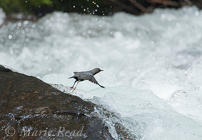 American Dipper (Cinclus mexicanus), taking flight over a raging creek, Lee Vining Creek, Mono Lake Basin, California, USA