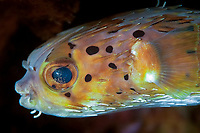 Freckled / fine spotted pufferfish (Diodon holocanthus) under an overhang, Temple of the sea, Pulau Perhentian, South China sea, Penninsular Malaysia, Asia