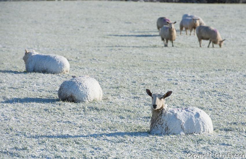 Sheep in snow near Thornhill, Dumfries.
