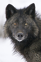 Grey Wolf portrait - CA