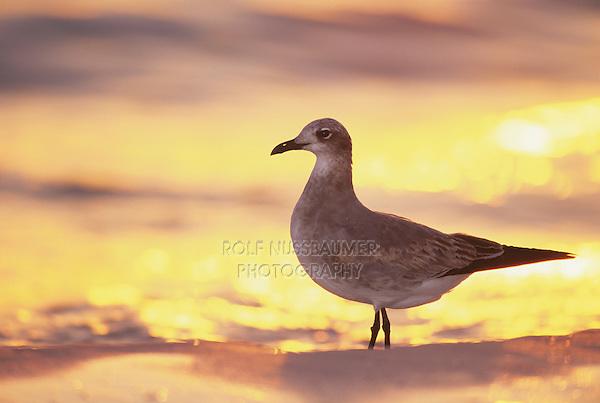 Laughing Gull, Larus atricilla, immature at sunset, Sanibel Island, Florida, USA, Dezember 1998