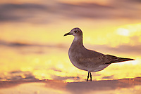 Laughing Gull, Larus atricilla, immature at sunset, Sanibel Island, Florida, USA, Dezember 1998