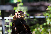 A Golden eagle, photographed through the mesh of its enclosure at the Sulphur Creek Nature Center where injured wildlife are treated and, when possible, returned to the wild.