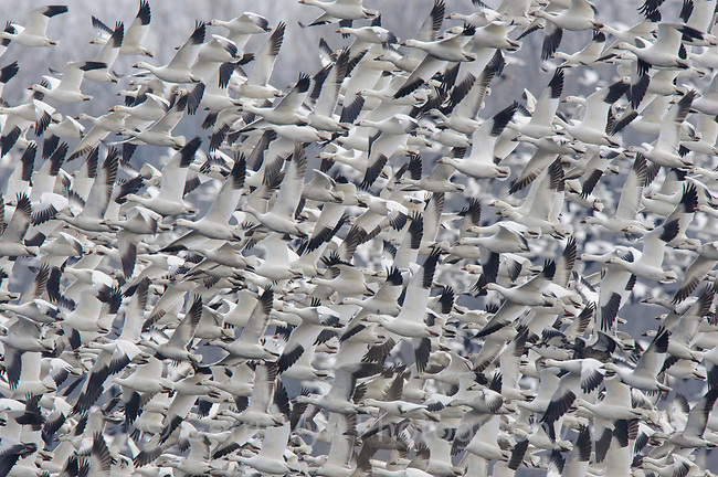 "Flock of ""Greater"" Snow Geese (Chen caerulescens) departing an agricultural field during migration. Montezuma NWR, New York. March."