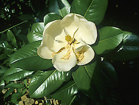 Southern Evergreen Magnolia or Bull Bay Magnolia grandiflora (Magnoliaceae) HEIGHT to 30m <br /> A large, spreading evergreen tree with a broadly conical crown. BARK Smooth, dull grey. BRANCHES Large, the youngest shoots covered with thick down and terminate in red-tipped buds. LEAVES Elliptical, to 16cm long and 9cm wide with a smooth or sometimes wavy margin. Upper surface is shiny, dark green, and underside is rust-coloured and downy, as is the 2.5cm-long petiole. REPRODUCTIVE PARTS Flowers are striking, composed of 6 white petal-like segments, borne at tips of shoots; conical in bud, later opening out to a spreading cup-shape, to 25cm across. Fruit is conical, to 6cm long, composed of scale-like carpels on a single orange stalk. Flowers from midsummer to late autumn. STATUS AND DISTRIBUTION Native of SE USA, introduced into Europe in 18th century. Popular in gardens here and does well if grown against a wall. In more sheltered areas it will form a splendid free-standing tree.