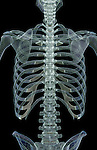 A wireframe image showing a posterior view of the bones of the trunk. Royalty Free