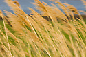 Reed grass in wind, Camargue, France
