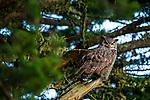 Great Horned Owl (Bubo virginianus), Point Reyes National Seashore, California