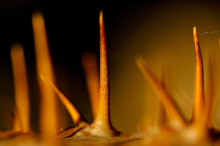 Madagascar Palm.