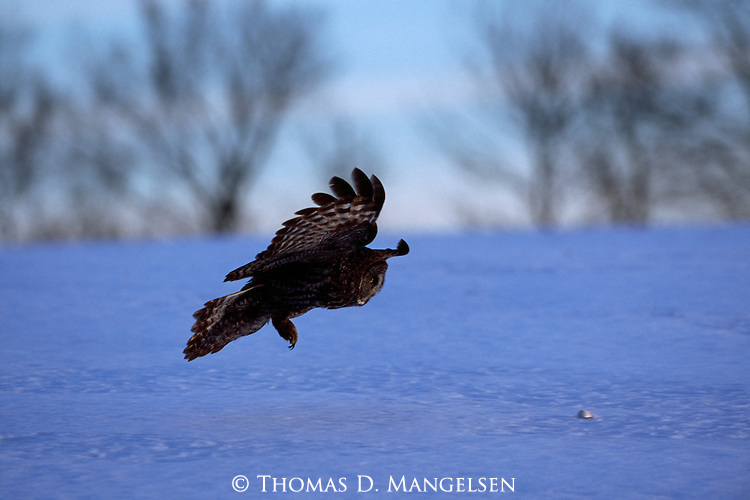 Great Gray Owl hunting a snowy field in Minnesota.
