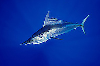 Short-billed Spearfish