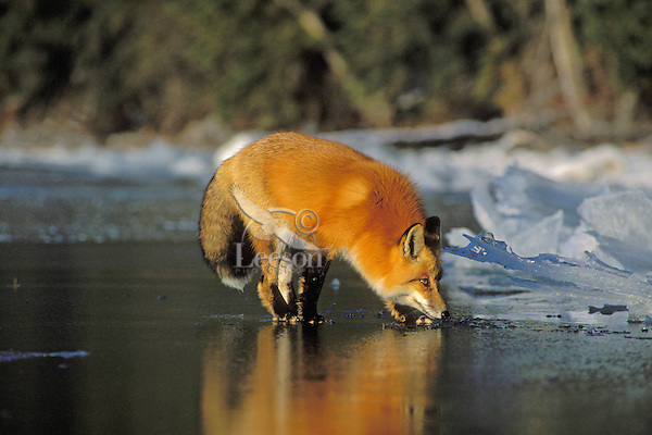 Red fox (Vulpes vulpes) reflects in ice of frozen lake.  Winter.