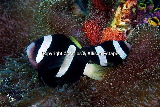 Amphiprion clarkii, Clark's anemonefish, Indonesia
