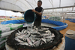 A Palestinian man feeds fish at a fish farm, in Gaza city, on Sept. 14, 2017. Photo by Mohammed Asad
