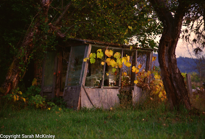 Grape vines and apple trees threaten to reclaim an old gardening shed outside of Willits in Mendocino County in Northern California.