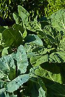 Collard greens in an organic garden