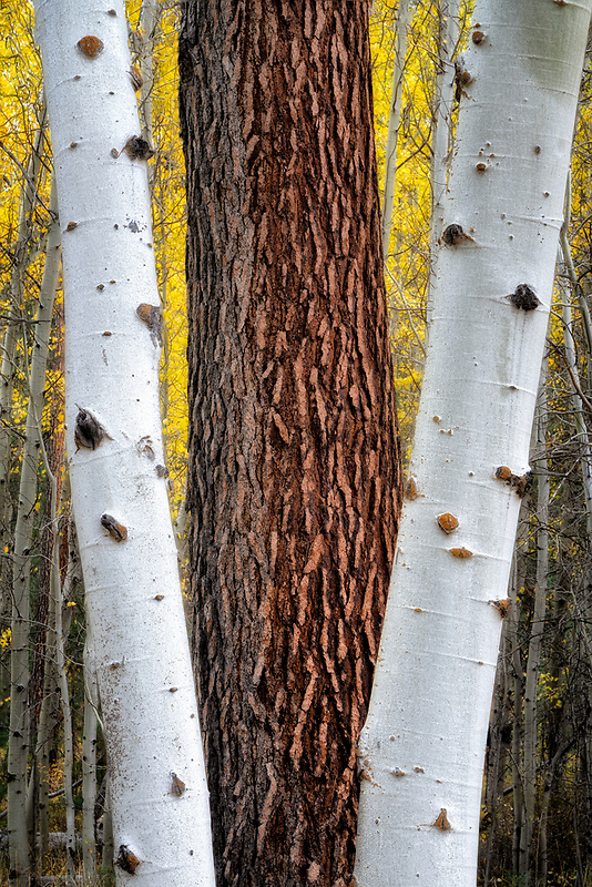 Two aspen trees with fall color framing Ponderosa Pine tree. Black butte Ranch, Oregon