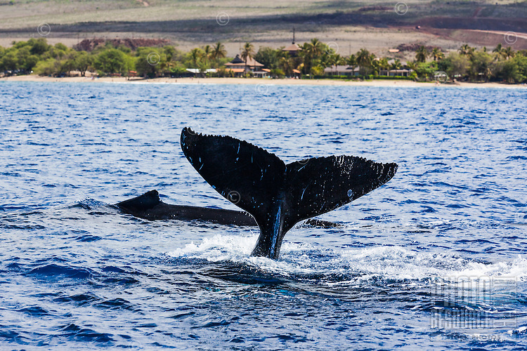 Humpback whales swimming with one displaying a tail off the coast of Maui.