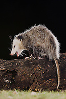 Virginia Opossum, Didelphis virginiana, adult at night on log, Uvalde County, Hill Country, Texas, USA