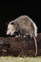 Virginia Opossum, Didelphis virginiana, adult at night on log, Uvalde County, Hill Country, Texas, USA
