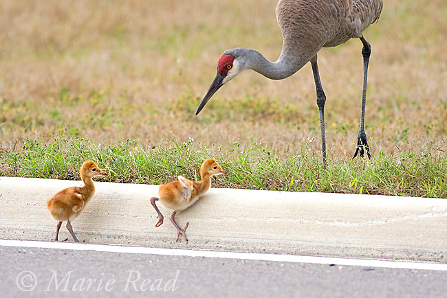 Sandhill Cranes (Grus canadensis) (Florida race), chicks trying to climb over curbstone at edge of road, Kissimmee, Florida, USA