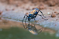 Tarantula Hawk Wasp drinking