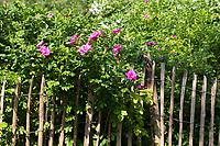 Kartoffel-Rose am Gartenzaun, Zaun, Staketenzaun, Stakettenzaun, Lattenzaun, Holzzaun, Rollzaun, Kartoffelrose, Runzel-Rose, Runzelrose, Rose, Rosa rugosa, Japanese Rose, garden fence, fence, hash mark, hashmark, batten fence, lattice fence, lattice fencing, paling fence