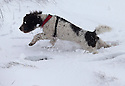 13/01/17<br /> <br /> Springer spaniel, Fred in deep snow near the Cat and Fiddle between Macclesfield and Buxton in the Peak District.<br /> <br /> <br /> All Rights Reserved F Stop Press Ltd. (0)1773 550665   www.fstoppress.com