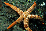 Milne Bay, Papua New Guinea; Sea Star (Nardoa novaecaledoniae), Ophidiasteridae family, legs to 20 cm (8 in.) , Copyright © Matthew Meier, matthewmeierphoto.com All Rights Reserved