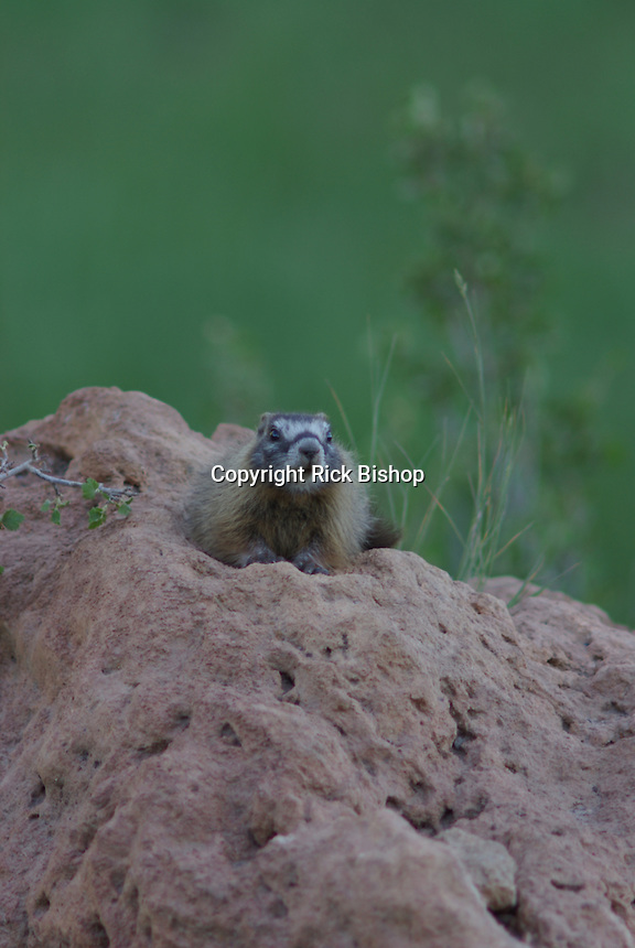 Yellow-Bellied Marmot rests on the boulder above the den, in Southern Utah's, Dixie National Forest.
