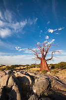 A remarkably shaped Baobab tree