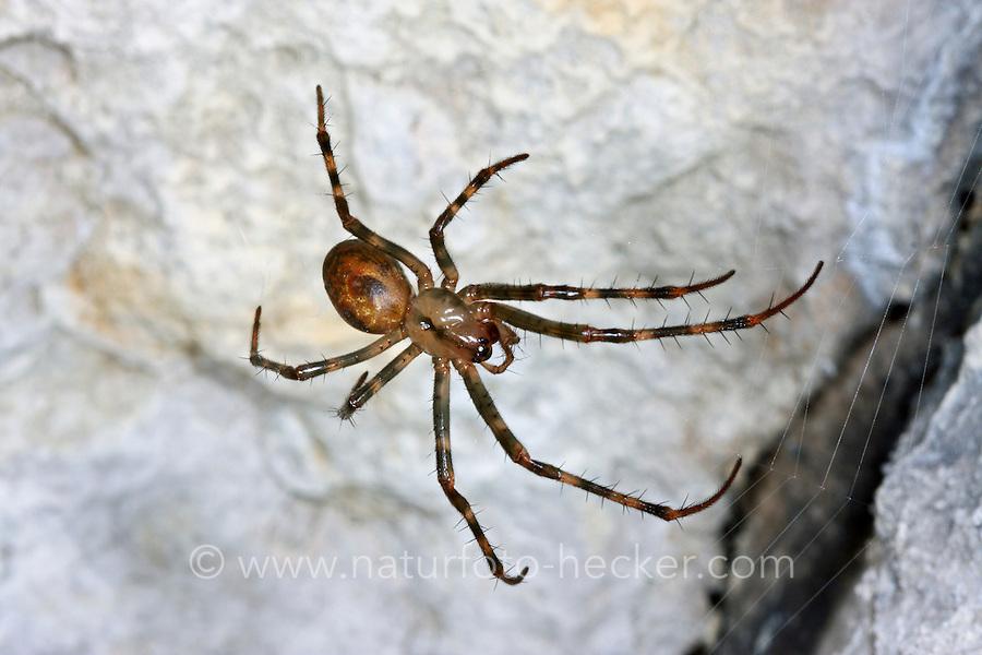 Höhlenradnetzspinne, Höhlenkreuzspinne, Große Höhlenspinne, Höhlen-Radnetzspinne, Höhlen-Kreuzspinne, Meta menardi, European cave spider, Orbweaving cave spider, Cave orbweaver, Cave spider, Höhlentier