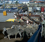 Trailer loads of sheep being loaded on to ship for export to the Middle East. Fremantle, Australia.
