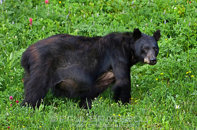 American Black Bear (Ursus americanus), grazing in alpine meadow, Mount Rainier, Washington.