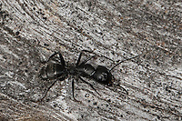 Haarige Holzameise, Haarige Holz-Ameise, Rossameise, Roßameise, Ross-Ameise, Roß-Ameise, Camponotus vagus, carpenter ant