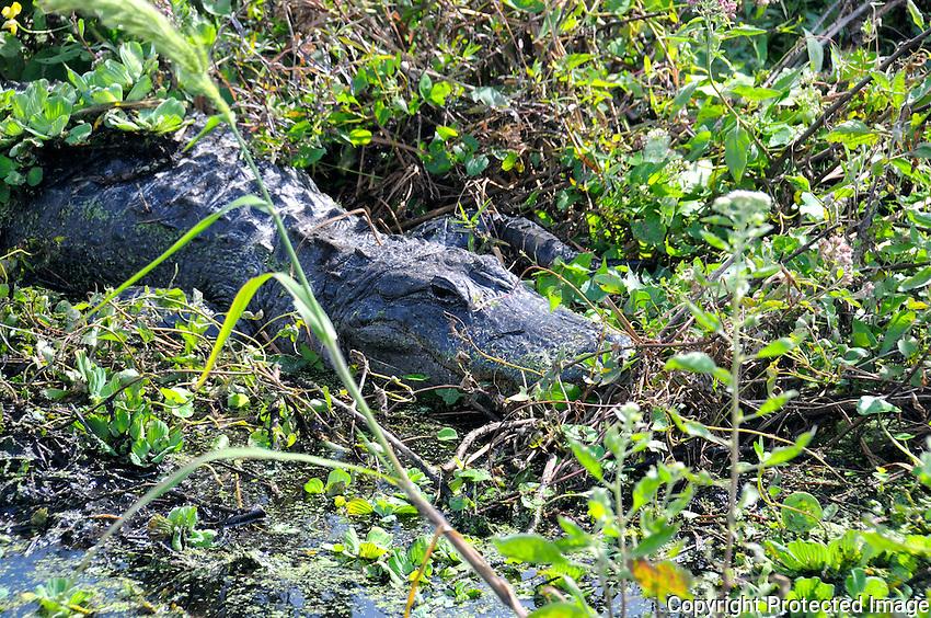 Huge Florida Alligator hiding in canal plant growth. Photographed at Arthur Marshall Loxahatchee Wildlife Refuge, Boynton Beach, Florida.