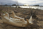 A pingo, or wild pig skull on an island in the Brokopondo reservoir in the interior of Suriname.  The man-made lake was hastily created by flooding a vast acreage of jungle without any prior logging and evacuation of animals and is reputed to be polluted by mercury from unregulated gold mining..