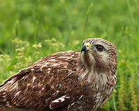 """Red-tailed Hawk in spring. A bird of prey, one of three species colloquially known in the United States as the """"chickenhawk"""""""
