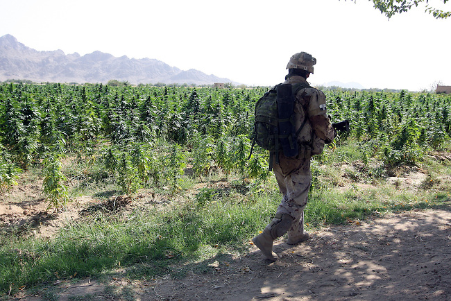 A soldier with November Company, 3rd Battalion, Royal Canadian Regiment walks past a marijuana field while on patrol in Zhari district, in Kandahar province, Afghanistan. Canadian troops fight daily skirmishes for control of Zhari, where the hardline Taliban movement first emerged in the early 1990s. Sept. 27, 2008. DREW BROWN/STARS AND STRIPES