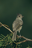 Black-crested Titmouse, Baeolophus atricristatus, young, Welder Wildlife Refuge, Sinton, Texas, USA, June 2005