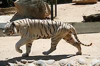 Tigre de Bengala.<br /> Especies en cautiverio en el centro ecologico de Sonora