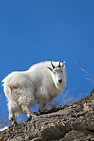 Mountain Goat, Ridge top, Blue Sky, Snake River Range, Alpine, Wyoming