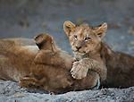 African lion and cubs, Okavango Delta, Botswana