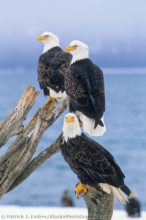 Bald eagles perched on a driftwood branch along the shores of Kachemak bay in Homer, Alaska.